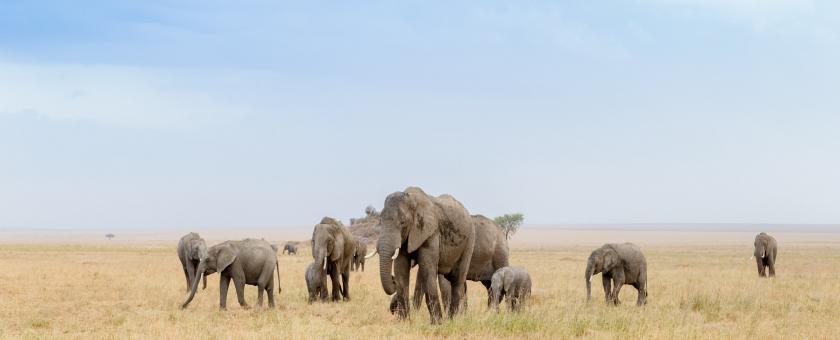 Elephant herd in Tanzania.