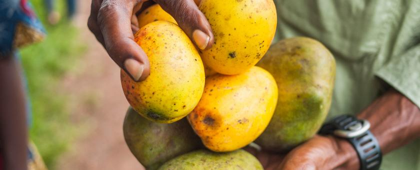A closeup of a farm worker holding mangoes