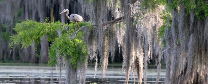 Cypress swamp in Louisiana