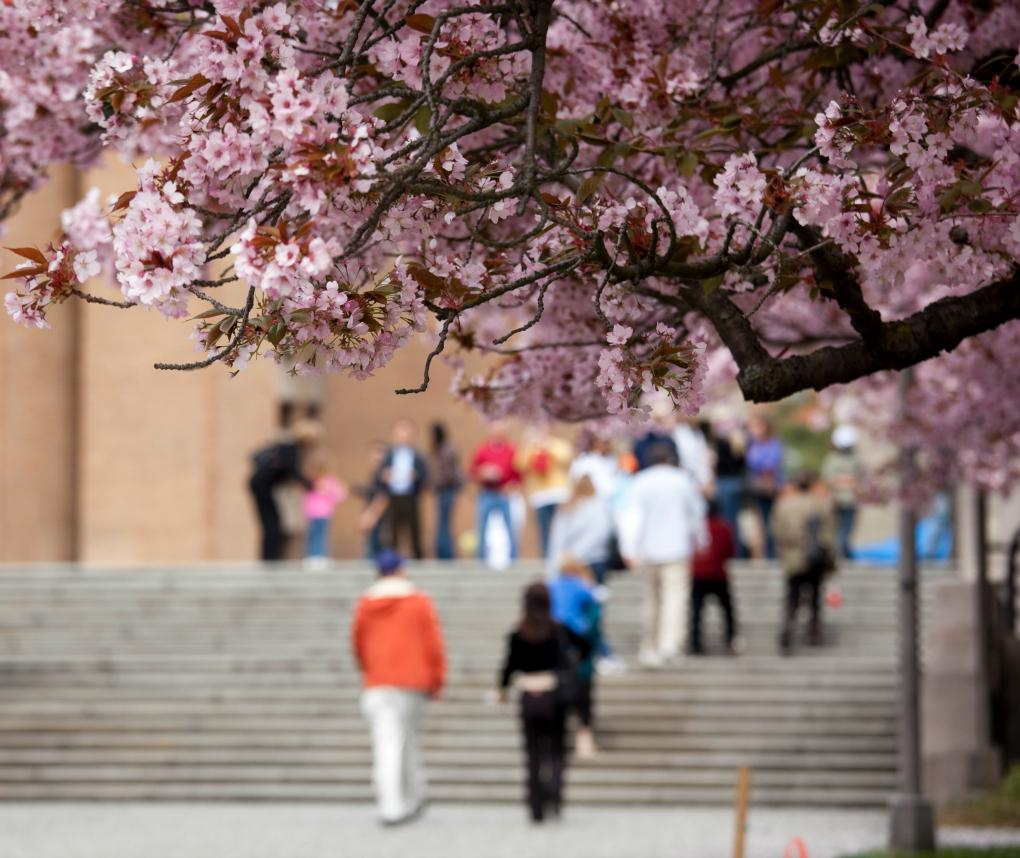Students walk on a college campus, framed by cherry blossoms.