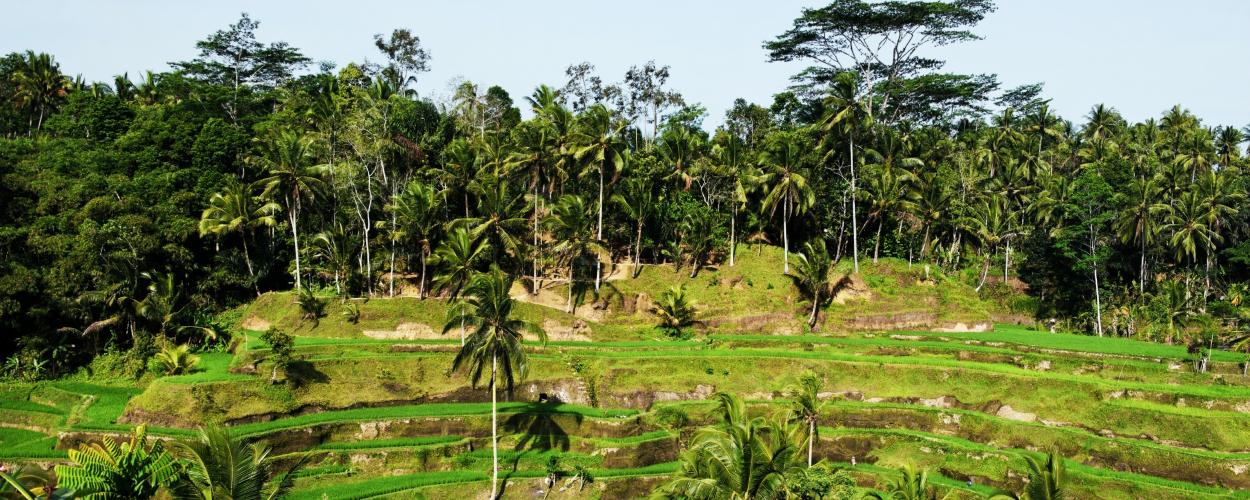 Rice fields and coconut trees in Bali