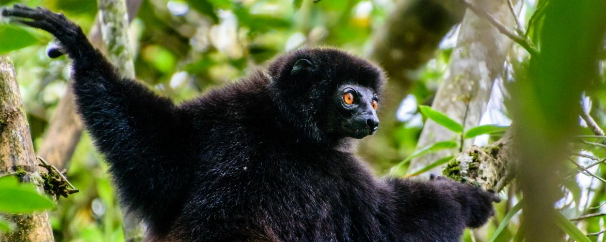 An Edwards sifaka, a type of lemur, climbs a tree in a Madagascar forest.