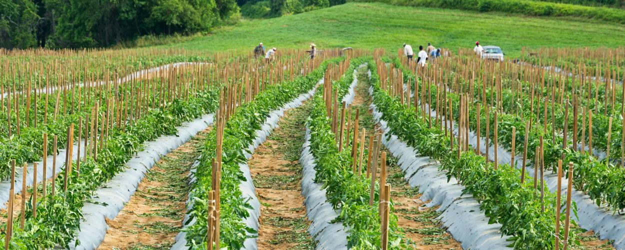 Farmworkers pick tomatoes in a North Carolina field.