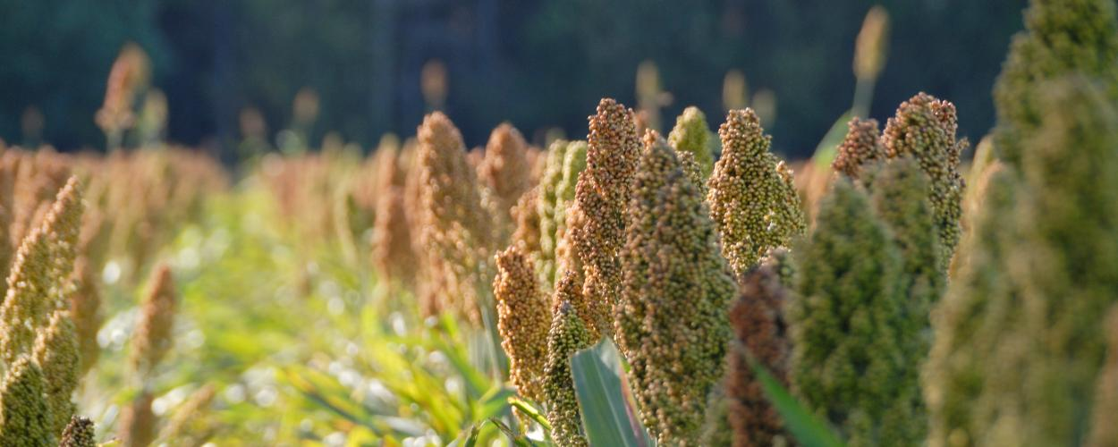 Closeup of sorghum plants growing in a field.