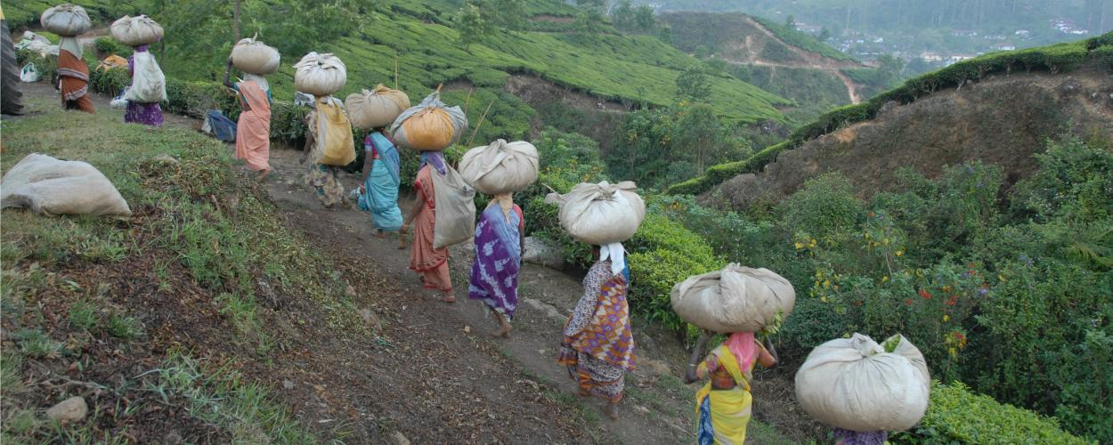 Women carry bundles of tea on their heads while walking uphill on a path through a tea farm.