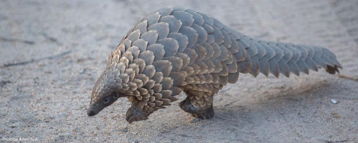The pangolin, an anteater covered with scales, is the world's most trafficked mammal.