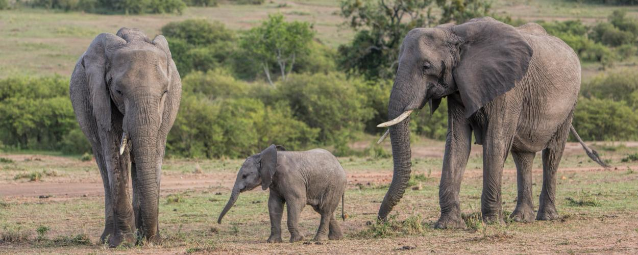 Two adult elephants and one baby walk on the plains.